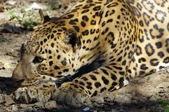 A close of resting Jaguar . stock photos