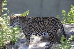 Jaguar op een rock2 Stock Foto