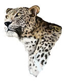 Jaguar op een witte achtergrond Stock Afbeeldingen