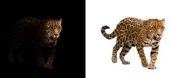 Jaguar op zwart-witte achtergrond royalty-vrije stock afbeeldingen