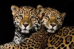 Jaguar-Paar royalty-vrije stock afbeelding