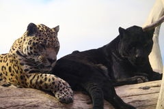 Jaguar-Paare Lizenzfreies Stockfoto