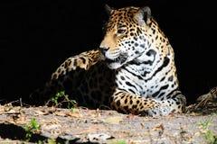 Jaguar pacífico en fondo negro Foto de archivo