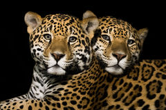 Jaguar Pair Royalty Free Stock Images