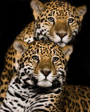 Jaguar Pair II Royalty Free Stock Photo