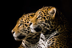Jaguar Pair III Royalty Free Stock Photos