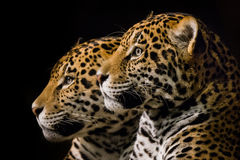 Jaguar Pair III Stock Photography