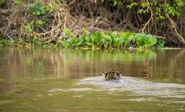 Jaguar in Pantanal Royalty Free Stock Photography