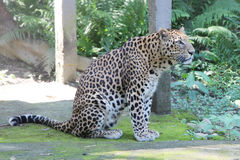 Jaguar - Panther in India. Close-up of face and torso of beautiful spotted Panther Royalty Free Stock Photography
