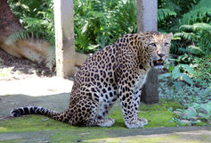 Jaguar - Panther in India. Close-up of face and torso of beautiful spotted Panther Stock Photo