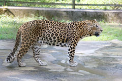 Jaguar - Panther in India. Close-up of face and torso of beautiful spotted Panther Stock Image