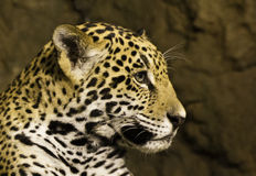Jaguar. (panthera) cub looking to the side Royalty Free Stock Photography