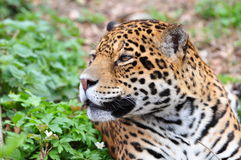 Jaguar, Panthera leo Imagen de archivo libre de regalías