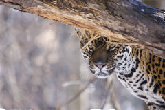 Jaguar (Panthera onca). A female jaguar is watching me behind a tree stock photography