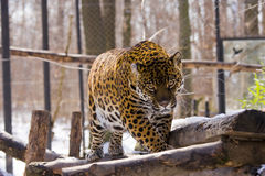 Jaguar (Panthera onca). A female jaguar is walking on a tree stock photography