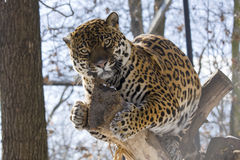 Jaguar (Panthera onca). A female jaguar is resting on a tree Royalty Free Stock Photo