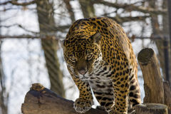 Jaguar (Panthera onca). A female jaguar is standing on a tree Royalty Free Stock Photo