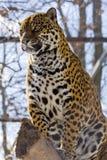 Jaguar (Panthera onca). A female jaguar is sitting on a tree Stock Photos
