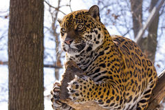 Jaguar (Panthera onca). A female jaguar is on a tree royalty free stock images