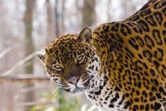 Jaguar (Panthera onca). A female jaguar is on a tree stock images