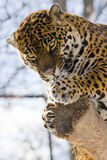 Jaguar (Panthera onca). A female jaguar is on a tree royalty free stock photography