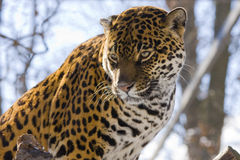 Jaguar (Panthera onca) Royalty Free Stock Photography