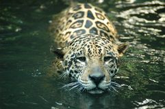 Jaguar - Panthera onca. Jaguar swimming in the river in South America Stock Photography