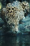 Jaguar - Panthera onca. Jaguar drinking from the river in South America royalty free stock images