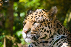 Jaguar (Panthera onca) Stock Image