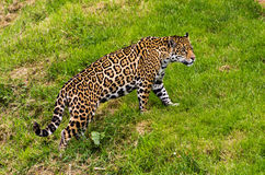 Jaguar (panthera onca) Stock Photo