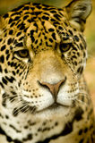 Jaguar - Panthera onca. In front of a white background Royalty Free Stock Image