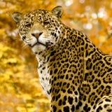 Jaguar - Panthera onca lizenzfreies stockbild