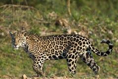 Jaguar, Panthera onca Zdjęcie Stock