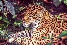 Jaguar, Panthera onca Lizenzfreie Stockbilder