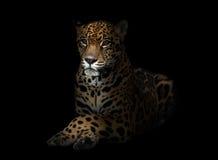 Jaguar ( Panthera onca ) in the dark Royalty Free Stock Photo