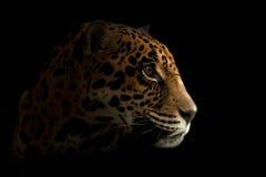 Jaguar ( Panthera onca ) in the dark Royalty Free Stock Images
