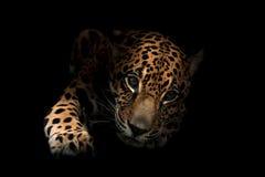 Jaguar ( Panthera onca )in the dark Royalty Free Stock Photo