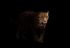 Jaguar ( panthera onca ) in the dark Stock Photos