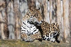 Jaguar, Panthera-onca is een reusachtig Zuidamerikaans dier Stock Foto's