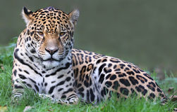 Jaguar (Panthera onca). Frontal view of a Jaguar (Panthera onca