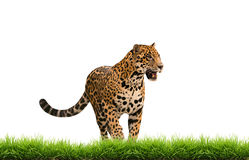 Jaguar ( panthera onca ) with green grass isolated Stock Photos
