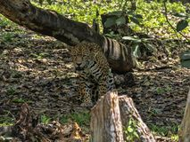 Jaguar, Panthera-onca, is grootste Amerikaanse katachtig, Guatemala stock afbeelding