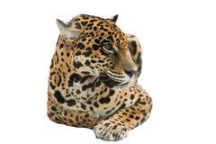 Jaguar ( Panthera onca ) isolated Royalty Free Stock Photos
