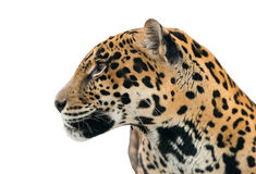 Jaguar ( Panthera onca ) isolated Royalty Free Stock Images