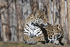 Jaguar, Panthera onca jest ogromnym południem - amerykańska bestia Zdjęcia Stock