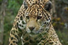Jaguar - Panthera onca Royalty Free Stock Photography