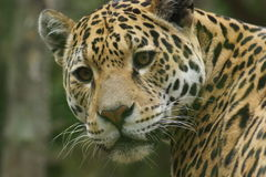 Jaguar - Panthera onca Stock Photo