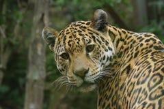 Jaguar - Panthera onca Royalty Free Stock Image
