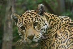 Jaguar - Panthera onca Royalty Free Stock Photos