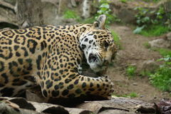 Jaguar - Panthera onca Stock Photos